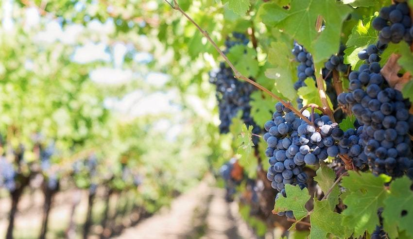 wine grapes ripe for harvest and for wine investment
