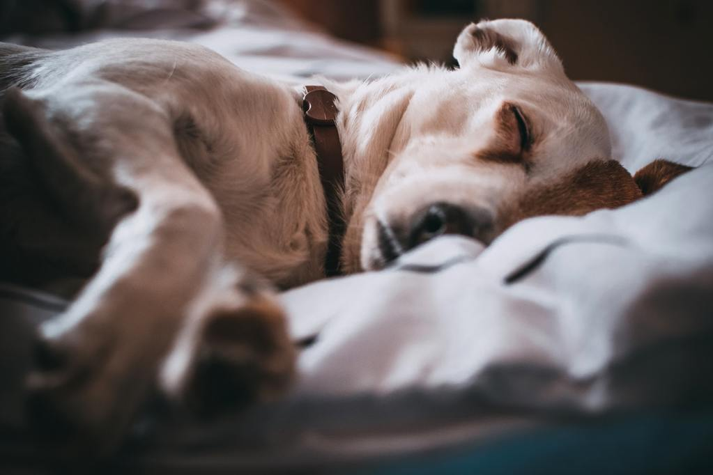 A dog sleeps with the peace of mind that comes with reps and warranties insurance