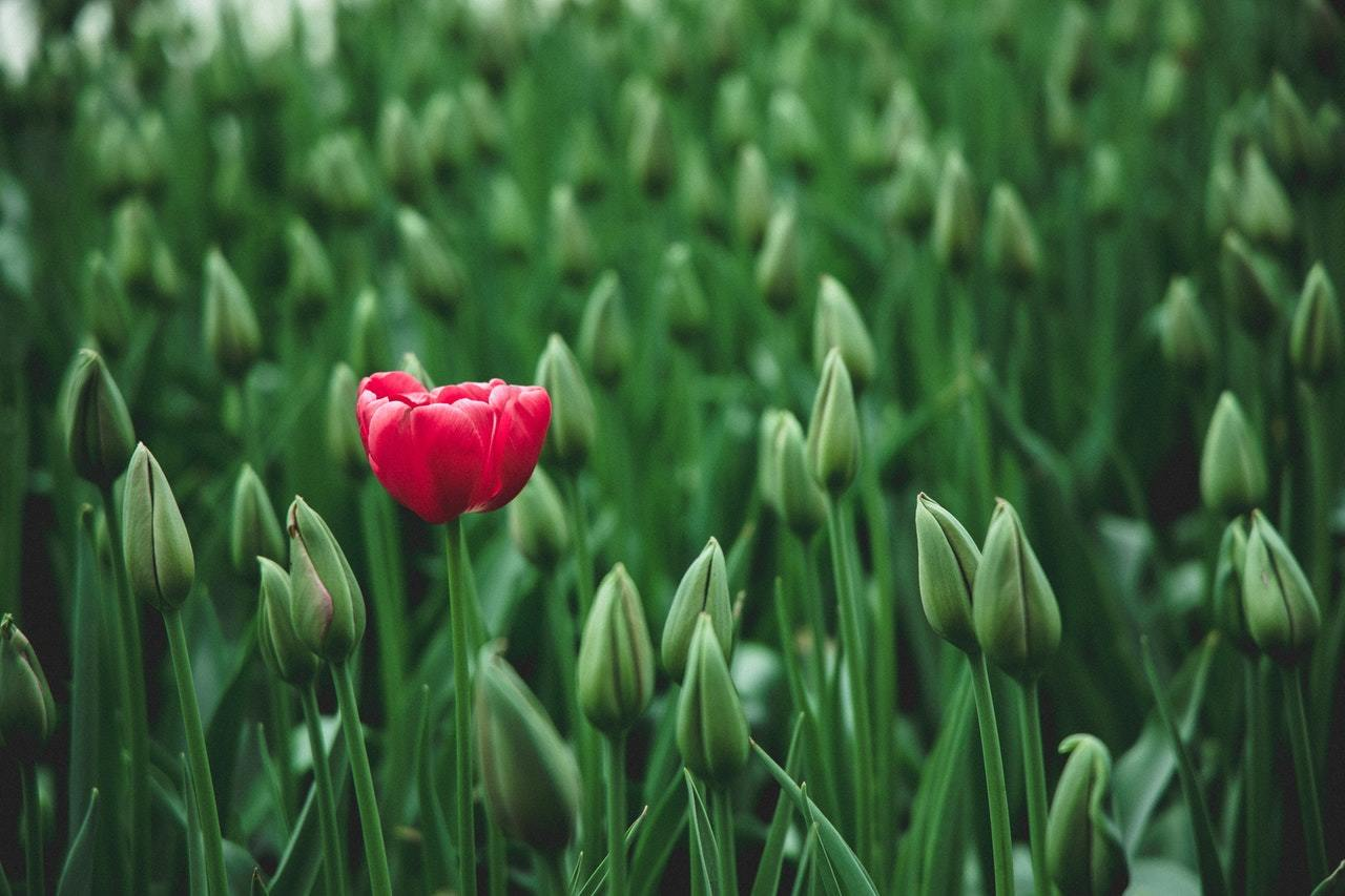 one opened tulip in a sea of buds, representing the concept of special situations in private equity