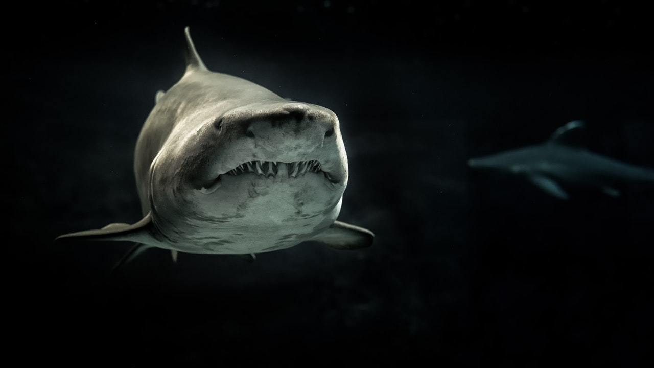 a grey shark, representing lessons from shark tank